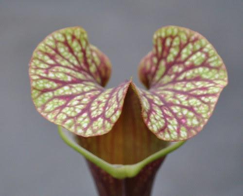 Sarracenia 'Royal Ruby' x 'Judith Hindle'