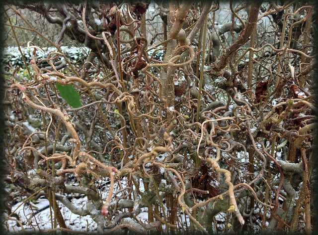 Twisted Hazel hedge