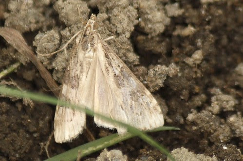 geometer moth (3)