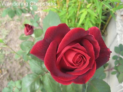 Identify My Rose 2