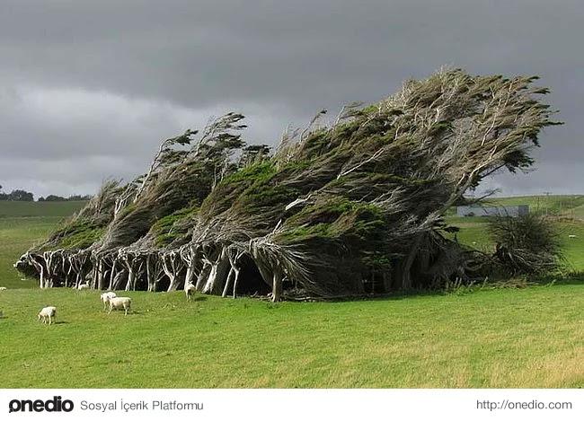 8. Sürekli aynı yönde esen rüzgar Yeni Zelanda'daki bu ağaç kümesinin büyüme yönünü de etkilemiş.