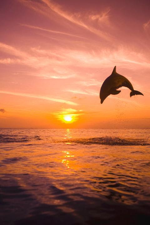 Bottlenose Dolphin Playing With The Sunset.