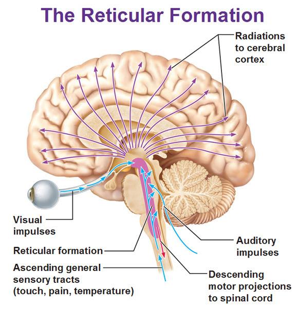 reticular formation radiation impulses motor projections