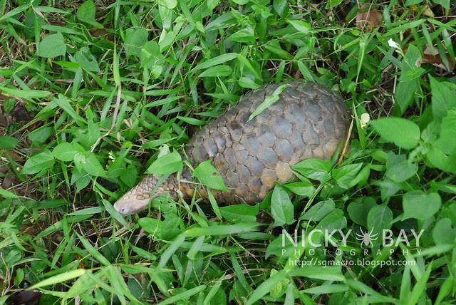 Sunda Pangolin (Manis javanica) - P1040737