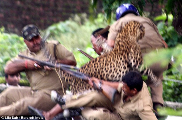 The wild leopard wreaks havoc as four rangers struggle to fend off the attack
