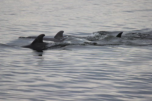 IMG_3640_Dolphins