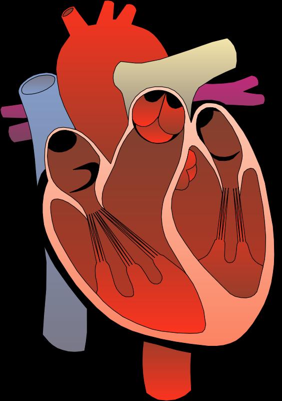 14157 medical illustration of a human heart pv