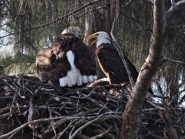 Bald Eagle female defends her catch 20140205