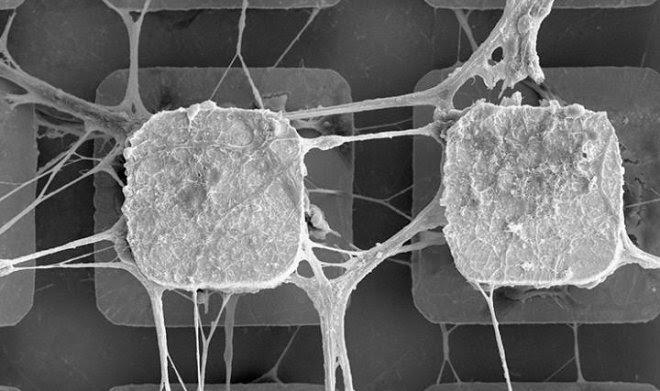 Ученые начинают внедрять живые нейроны в компьютерные микрочипы