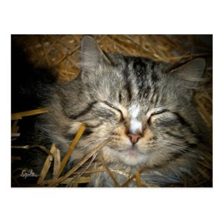 Feral Cat Sleeping in Winter Shelter Post Card