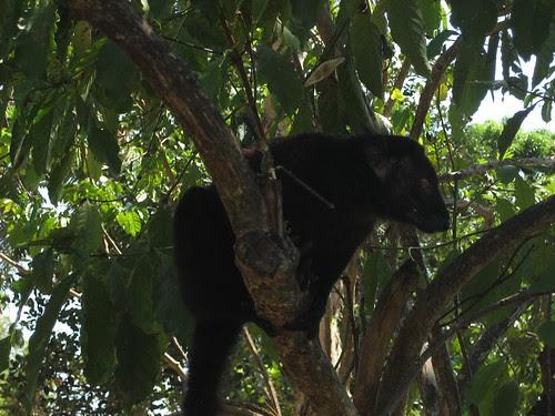Nosy Komba lemur
