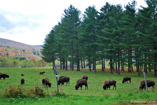 A Buffalo Herd ... sort of!