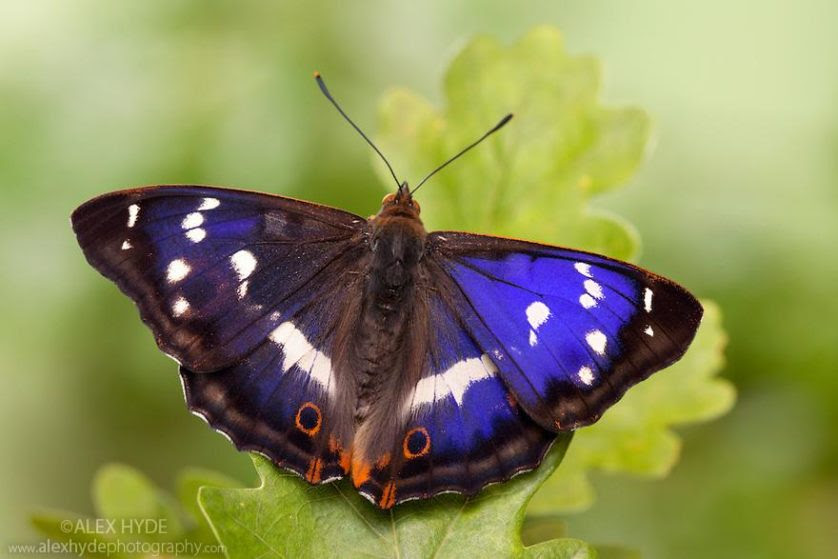 Purple Emperor male (Apatura iris)