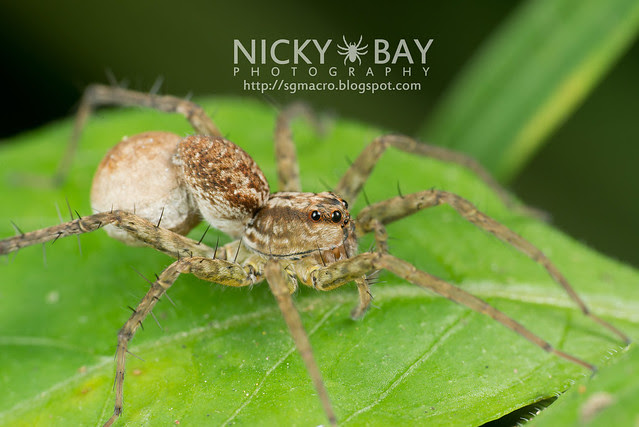 Wolf Spider (Lycosidae) - DSC_0728