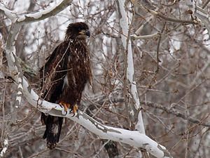 An immature Bald Eagle (Haliaeetus leucocephal...