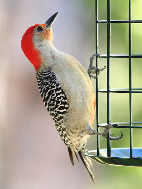 Red-bellied Woodpecker 3-20130310
