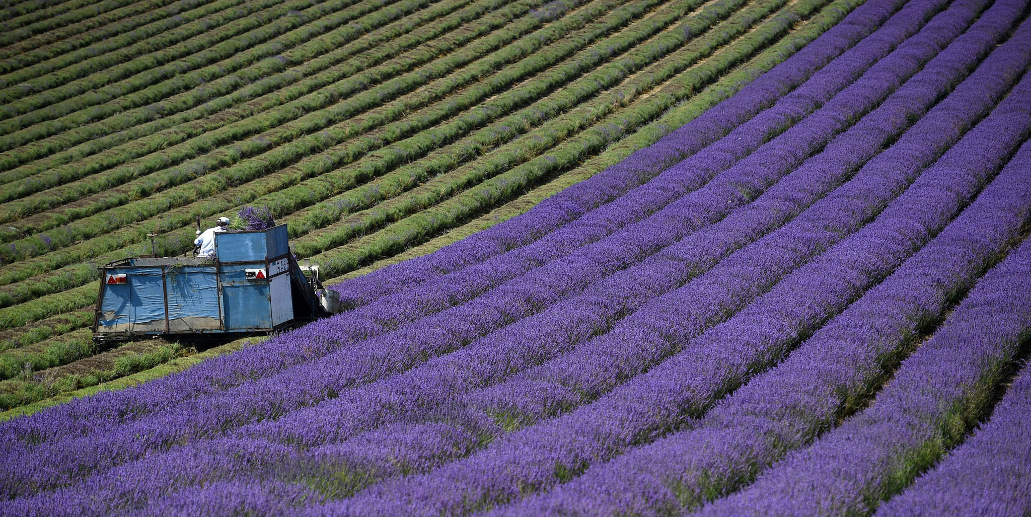 A tractor makes it's way up a row of lavender as it is harvested on the Lordington Lavender farm in West Sussex