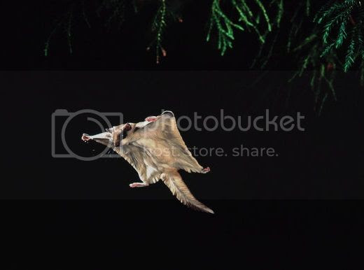 Flying squirrel against a night background