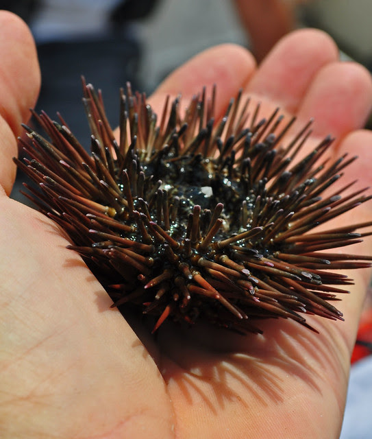 Urchin (2)