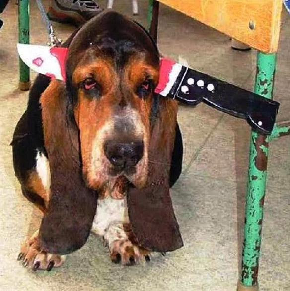 Basset Hound with knife through head Halloween costume