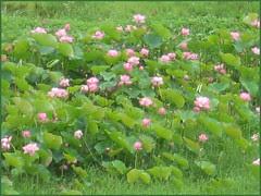 22 lotus far away