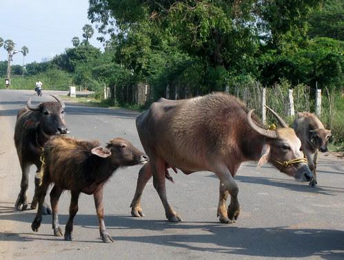 எருமை மாடு... buffalo