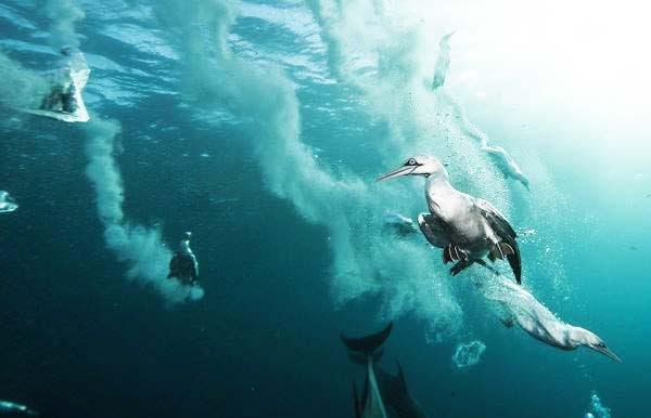 perierga.gr - Τα θαλασσοπούλια σε απίθανες καταδύσεις!