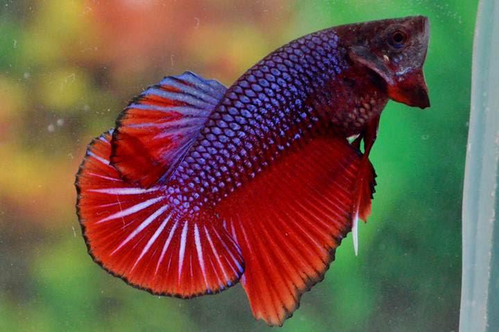 Jenis-Jenis Ikan Cupang Terpopuler | Ali Mustika Sari