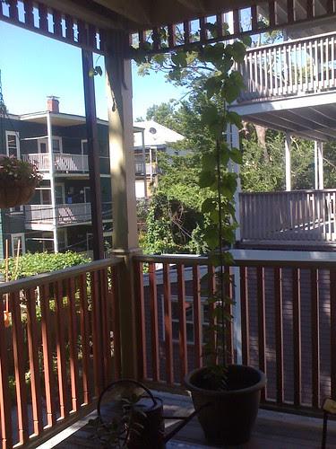 Hop plant after 2 months