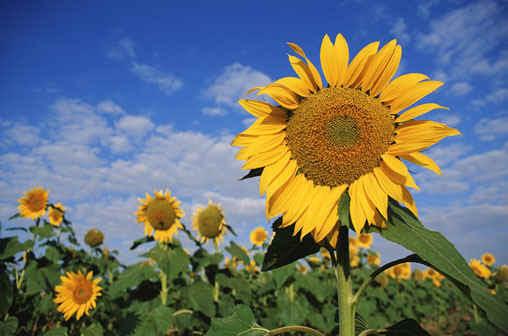 sunflower.jpg (67543 bytes)