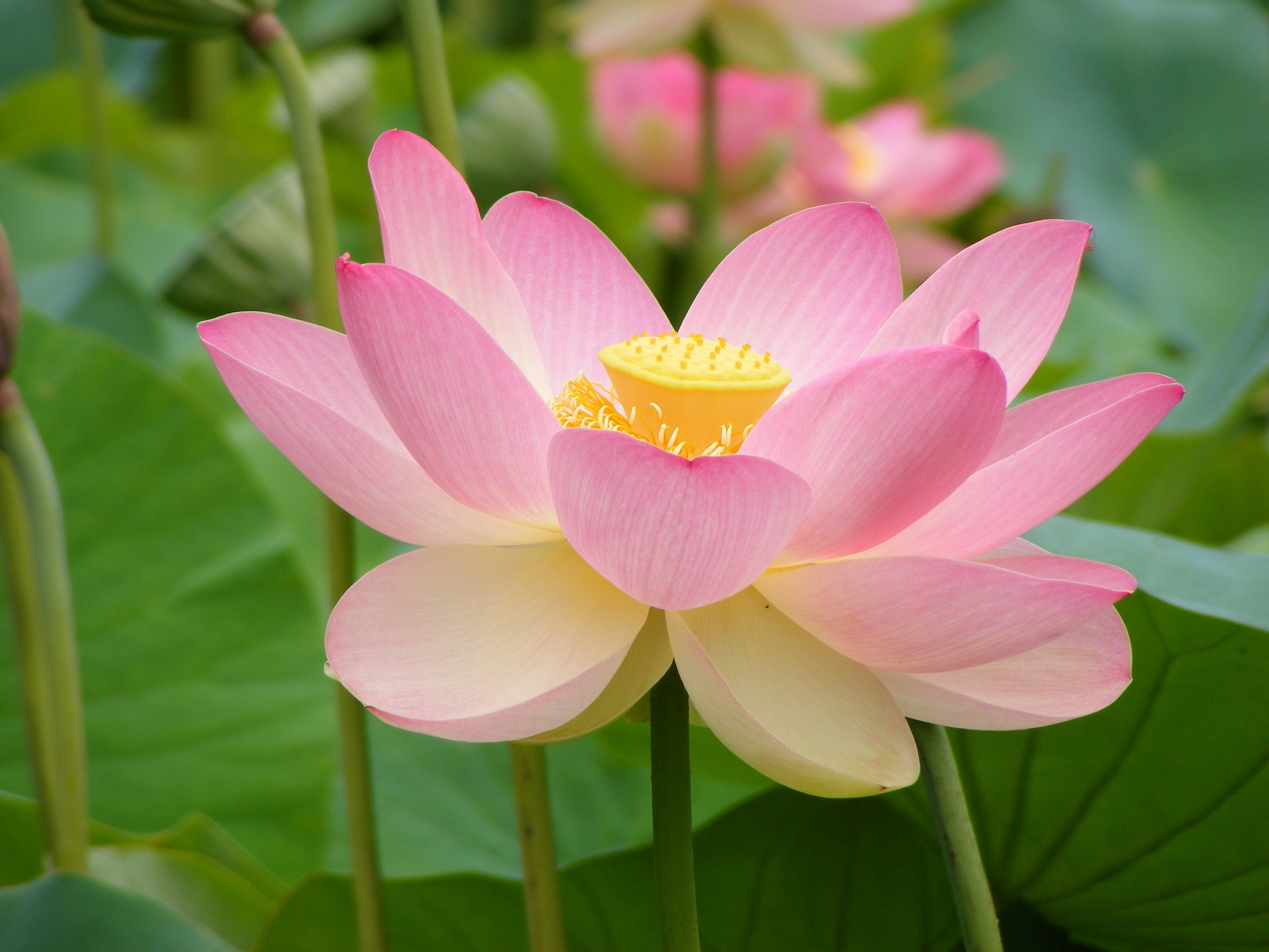 Water lily or lotus flowers 22283514 2560 1920