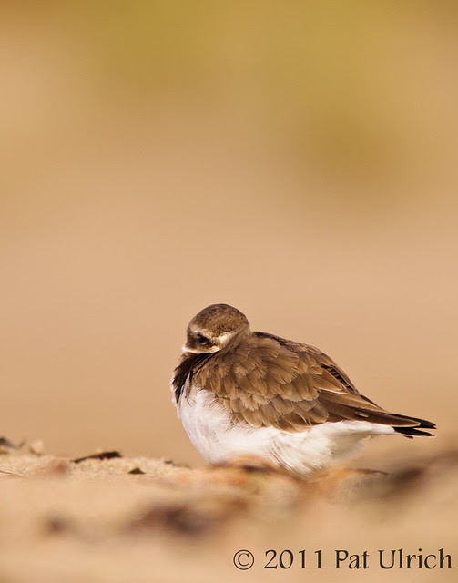 Plover at rest - Pat Ulrich Wildlife Photography