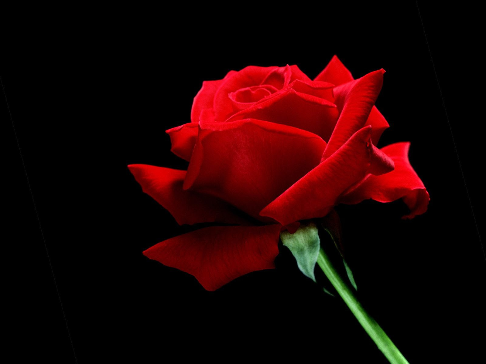 A Single Red Rose Wallpaper Flowers Nature Wallpapers In Jpg Format