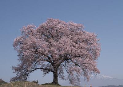 エドヒガン桜だそう