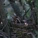 Nidada de Mirlo común (Turdus merula)