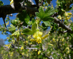 oak gooseberry