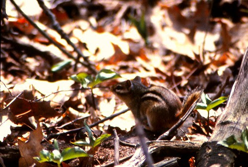 IMG_00083_Chipmunk_at_Olin_Lake_Nature_Preserve_April_1983