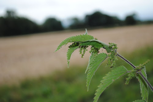 Stinging Nettle by Glover747