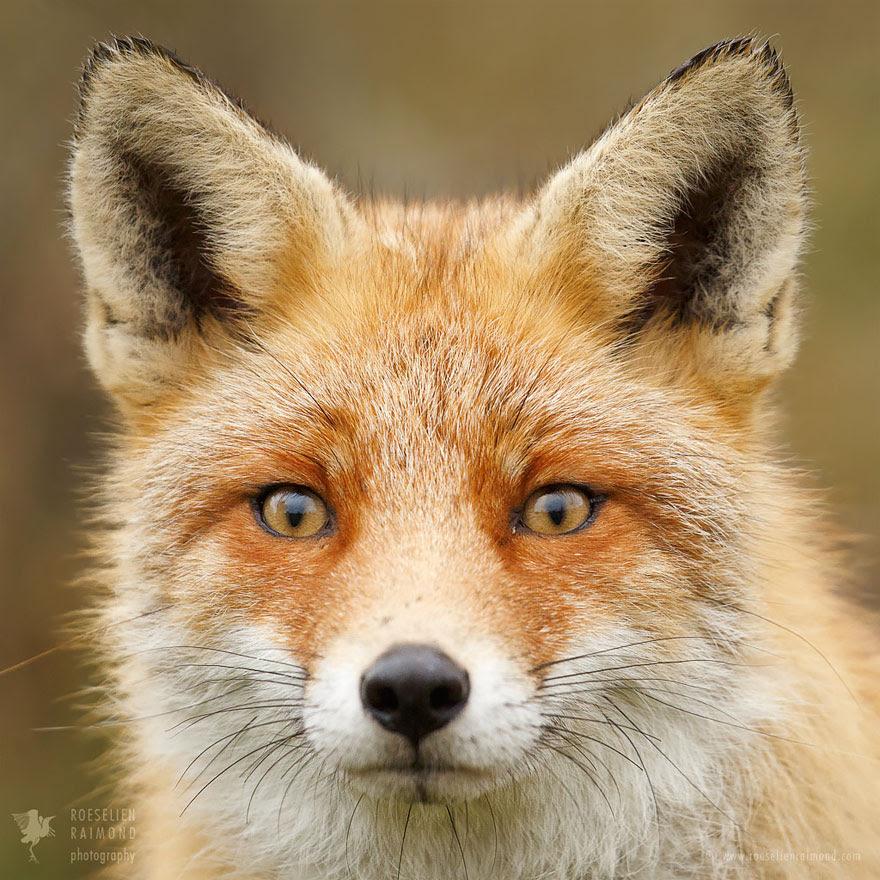 fox-faces-roeselien-raimond-red-fox
