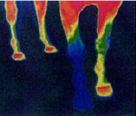 Analyse des conséquences du fer sur les pieds du cheval et sa circulation sanguine.