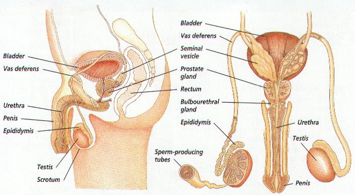 male reproductive system 3 728