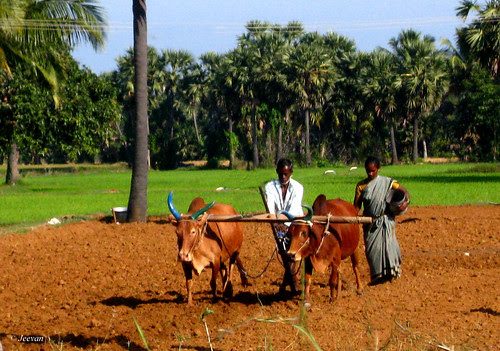 Oxes ploughing