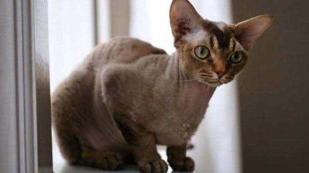 Razas de gatos hipoalergénicos