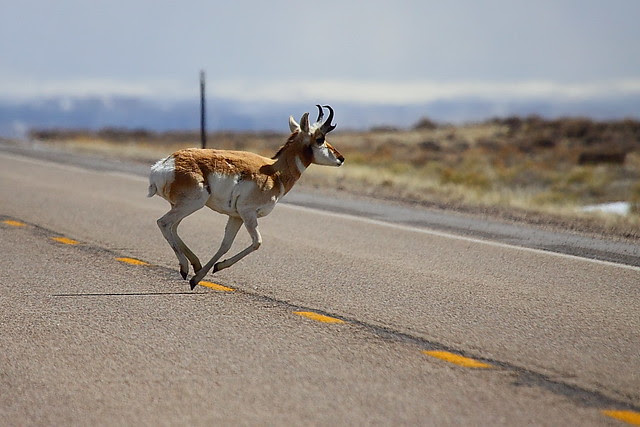 IMG_0648 Pronghorn Buck Crossing WY-372