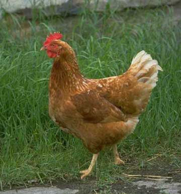 14 Year Old Boy Rapes Neighbours Chicken To Death Daily Post Nigeria