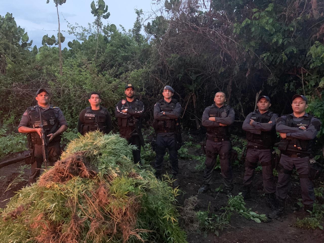 Polícia apreende 2 mil pés de maconha em Vitória do Mearim