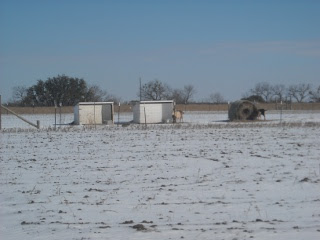 Goats and Goat Sheds After Arctic Storm
