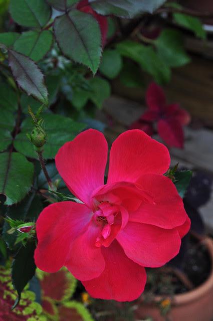 Rosa x 'Flower Carpet '(2)
