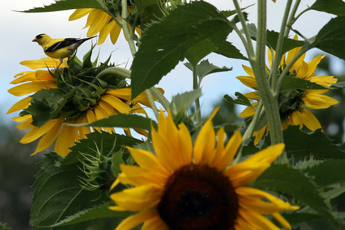 sunflower 078