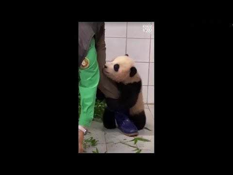 A baby panda clinging to its legs - watched millions of times on the net (VIDEO)